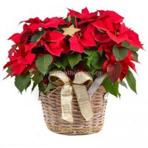 Christmas Plant-Euphorbia Pulcherrima-Poinsettia in basket