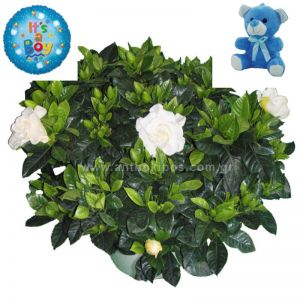 Flower arrangement for boy consists of gardenia plant, teddy bear and balloon