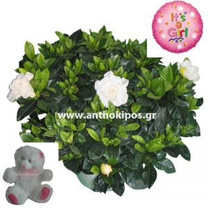 Flower arrangement for girl consists of gardenia plant, teddy bear and balloon
