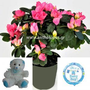 Flower arrangement for boy consists of azalea plant, teddy bear and balloon