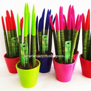 Sansevieria plant velvet touch colorful