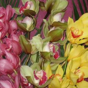 Branch orchid simpitioum