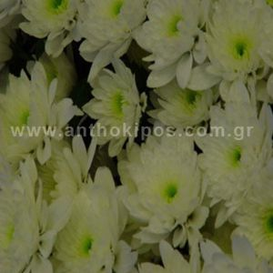 Dozen of chrysanthemums (12pcs.)