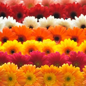 Dozen of gerberas (12pcs.)
