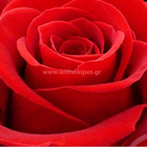 Tριαντάφυλλo Ecuador