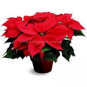 Christmas Plant-Euphorbia Pulcherrima-Poinsettia