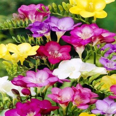 7 Bouquets frezies